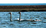 coral harbour harry gibbons bird sanctuary swans