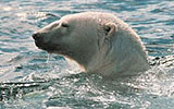 coral harbour polar bear