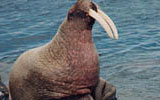 coral harbour walrus island